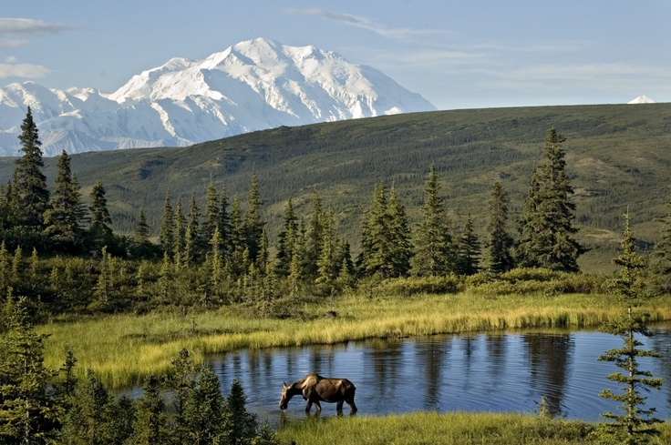 It's not unusual to spot a moose in Camp Denali's Nugget pond.