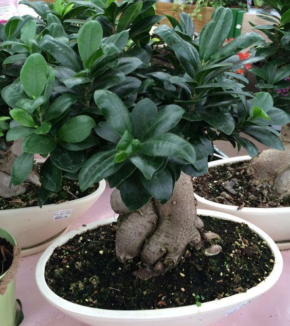 Entretien du Ficus ginseng (Ficus microcarpa ou retusa) en pot, plante d'intérieur. Idéal pour commencer dans le bonsaï