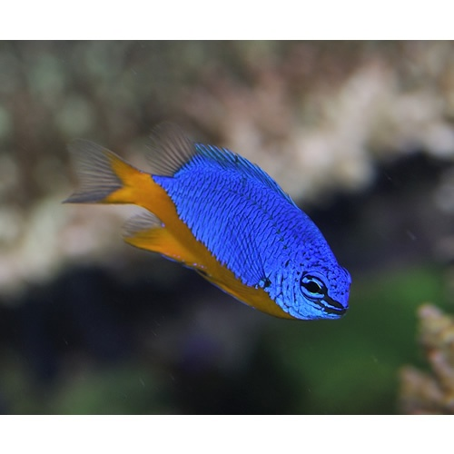 Kupang Damsel Chrysiptera Hemicyanea