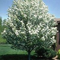 Crabapple - Spring Snow (fruitless), 15-25 ft tall, 15-20 ft wide, moderate-fast growth rate