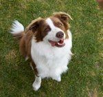 Australian Shepherds: What's Good About 'Em? What's Bad About 'Em?