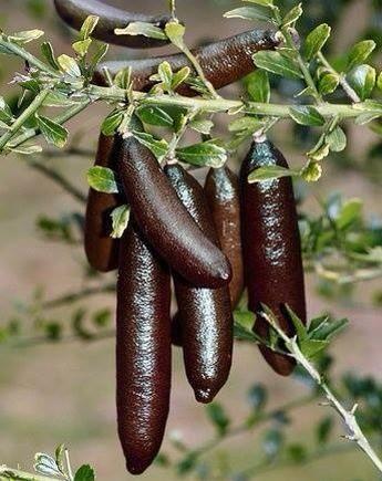 ต้นมะนาวนิ้วมือ