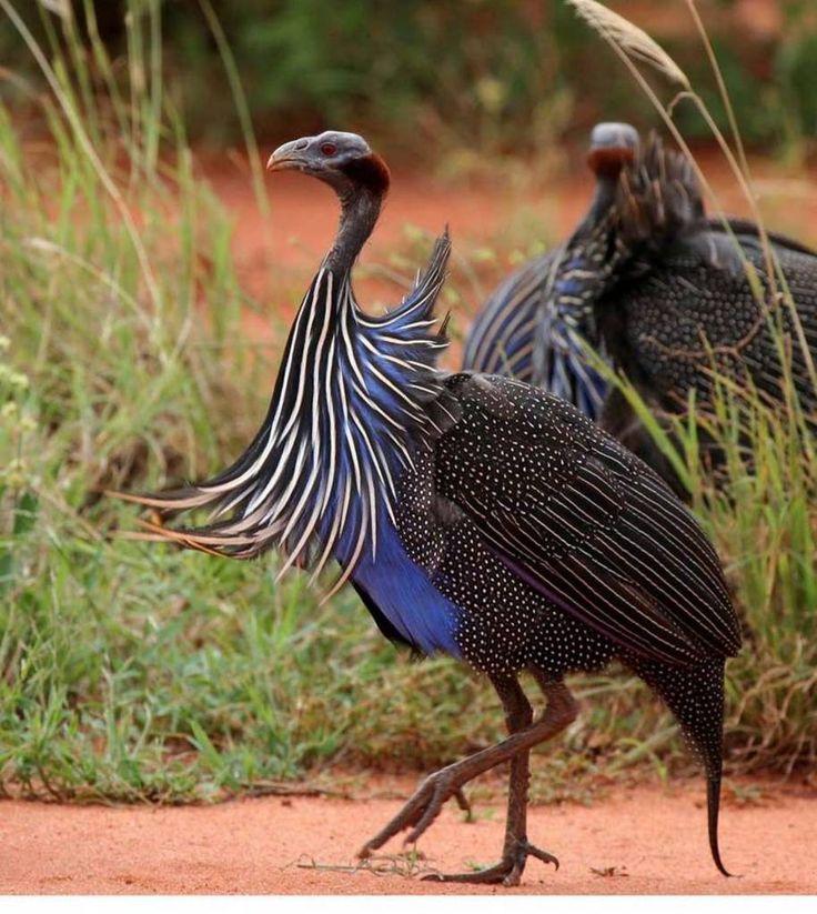 Vulturine guineafowl - photo#10