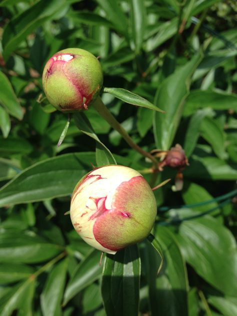 Peony buds - did you know this is the best time for cutting peonies? See more peony growing and care tips eclecticallyvintage.com