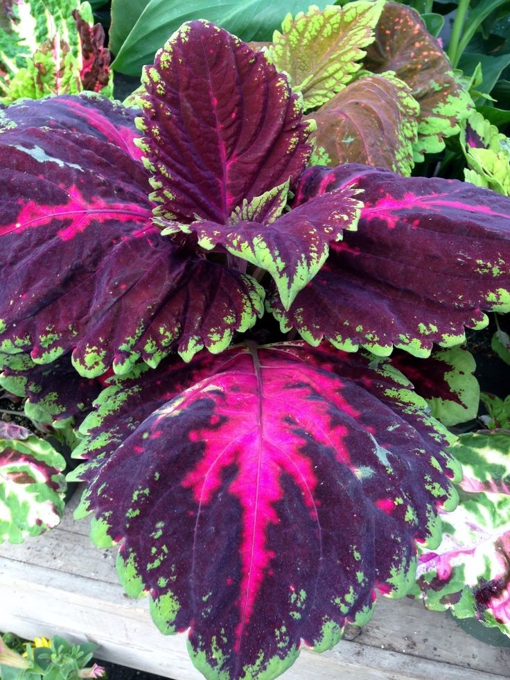 Kong Coleus looks amazing in planters and goes with everything as a great filler with eye catching foliage.