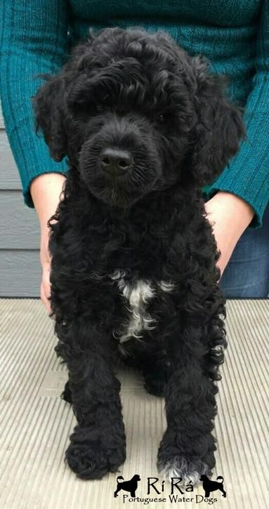 Chisolm -- AKC Portuguese Water Dog puppy.