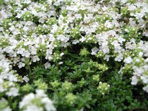 Thymus serpyllum 'Wirral White' - Weißer Feldthymian