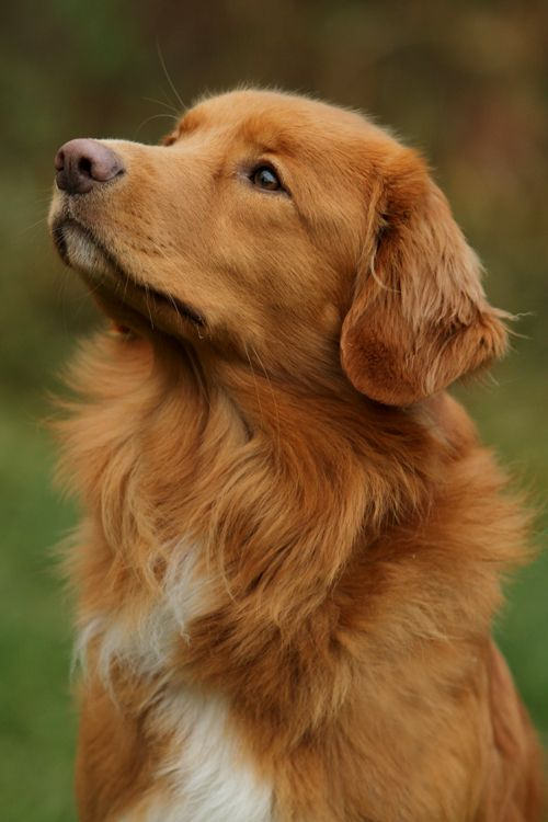 "NOVA SCOTIA DUCK TOLLING RETRIEVER: Smallest of the Retrievers & bred mainly for hunting. Their name comes from their ability to lure waterfowl within gunshot range (""tolling""). Intelligent, energetic, good with children / Mille by *SaNNaS on deviantART"