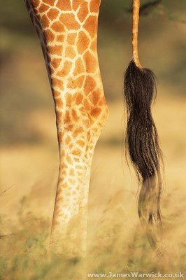 giraffe legs and tail by James Warwick on Getty