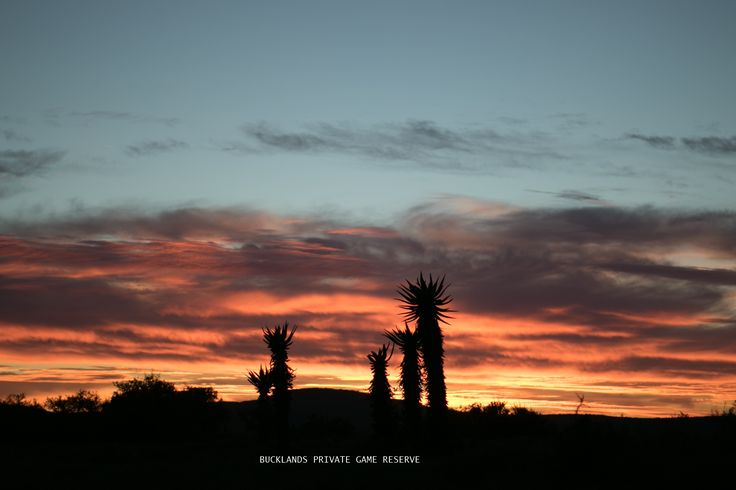 One of our vibrant sunsets at Bucklands, with silhouetted Aloes. #photography #bucklandsprivategamereserve #bucklandswildlife #africa #southafrica #gamedrivesatbucklands #gamedrives #aloes #sunset #silhouette