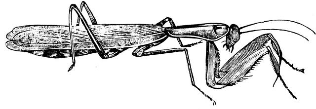 27 best praying mantis unit study images on pinterest