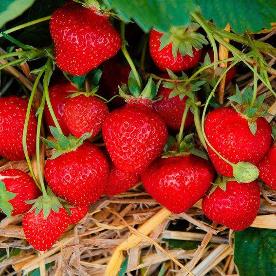 g rtner p tschkes jubilee erdbeere getopft 2 f r den balkon 2016 pinterest erdbeeren. Black Bedroom Furniture Sets. Home Design Ideas