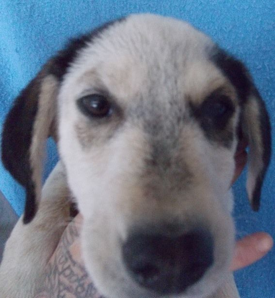 Elroy is a male, lab-mix puppy who will be available for adoption on 2-22-17. ID# 17-D0499\r\n