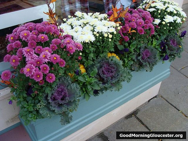 Autumn Flower Window Box - Mums, Kale and Pansies all good options