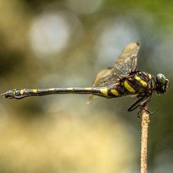Capung Naga sedang makan siang ---> The Meal Time - 10Nature   The Best Nature Photography