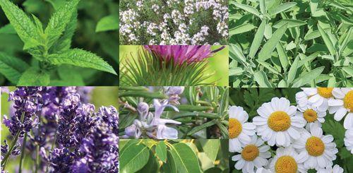 Türkiye'de Tıbbi ve Aromatik Bitkiler Sektörü ve Sorunları - Sağlık - Tarım   Apelasyon