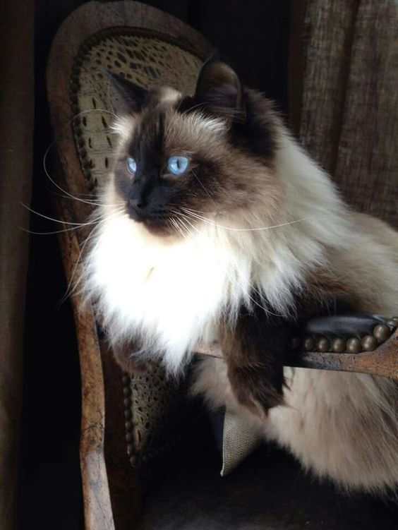 What a magnificent cat magnificent cat fluffycat