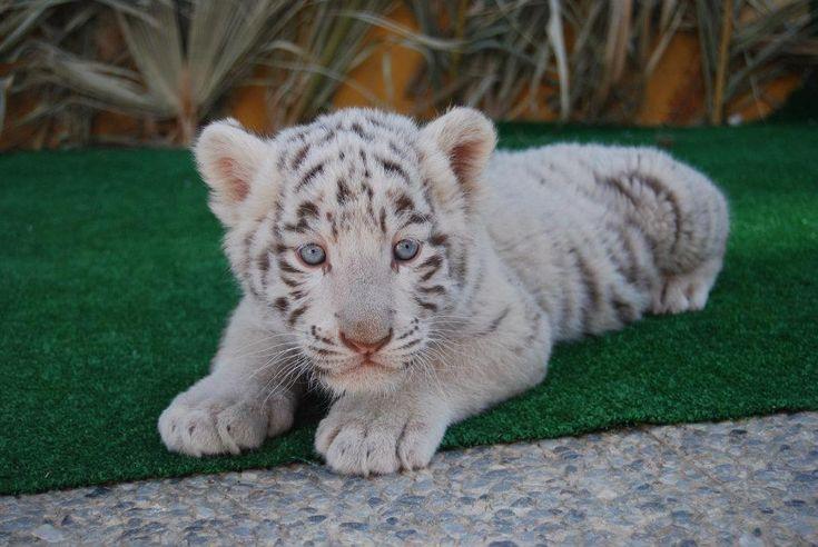 bebe de tigre blanco | coisas de ninoca | Pinterest | Bebe
