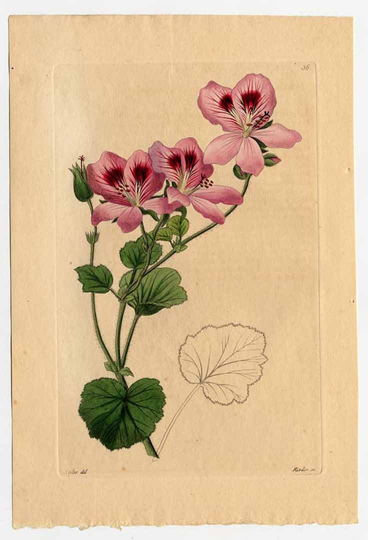 'Candy Flowers Pink with Eye' geranium  (Pelargonium domesticum) .  Some species are extremely popular garden plants, grown as bedding plants in temperate regions - plant illustrations
