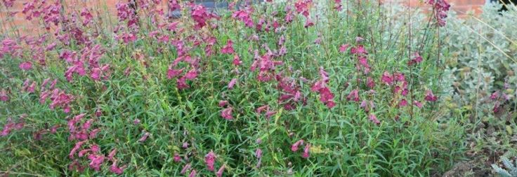 Plant Ident - Penstemon 'Blackbird'
