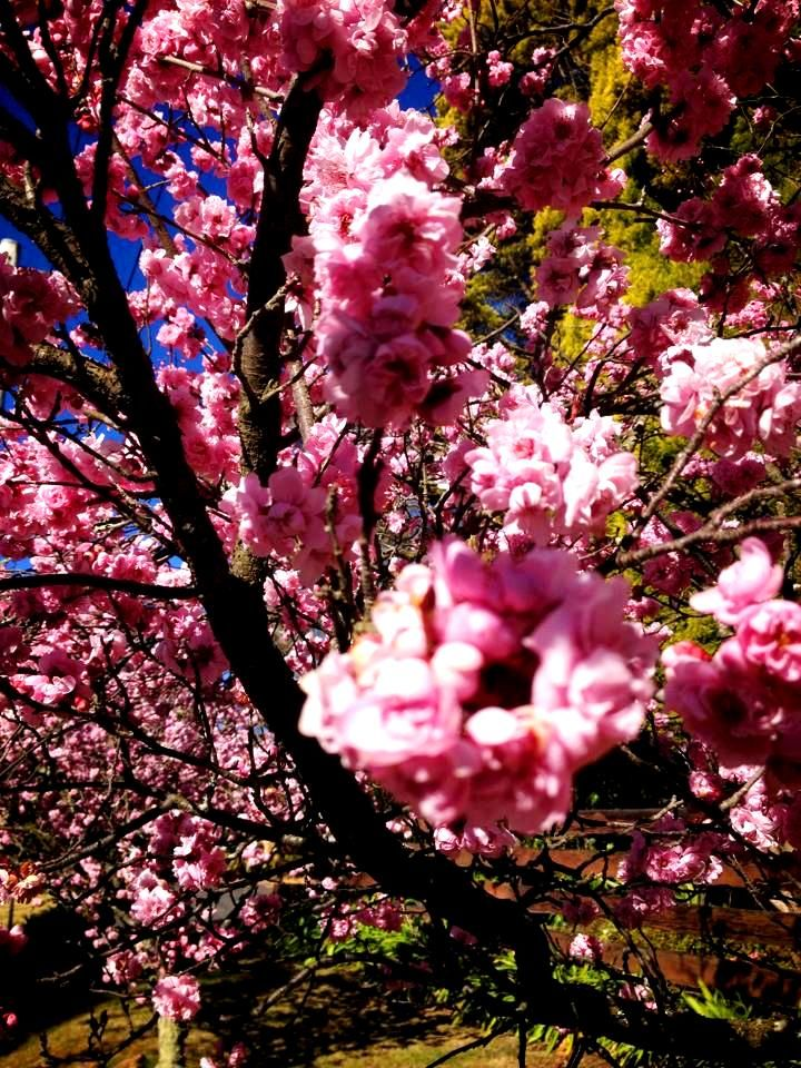 Cherry Blossoms arrived early for Spring! Taken at Cnr Evan's Lookout Rd and Valley View Rd, Blackheath NSW
