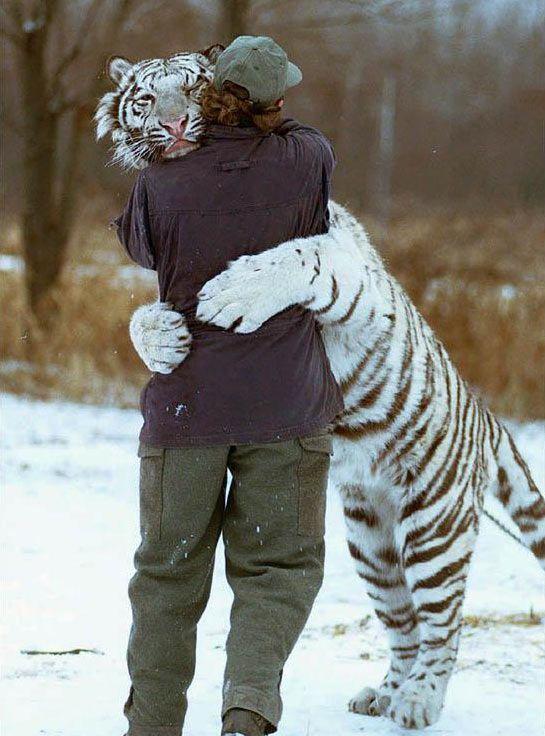 Abbraccio a una #tigre siberiana http://www.ilpeggiodellarete.it/abbraccio-a-una-tigre-siberiana/ #foto