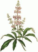 es considerada como la mejor hierba para enfermedades tales como quistes fibroides del útero y endometriosis.Sauzgatillo
