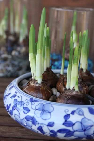 Grow bulb plants indoors!!! Ahhh, I want to try this so much! 4-6 weeks til bloom, but should sprout in a week!