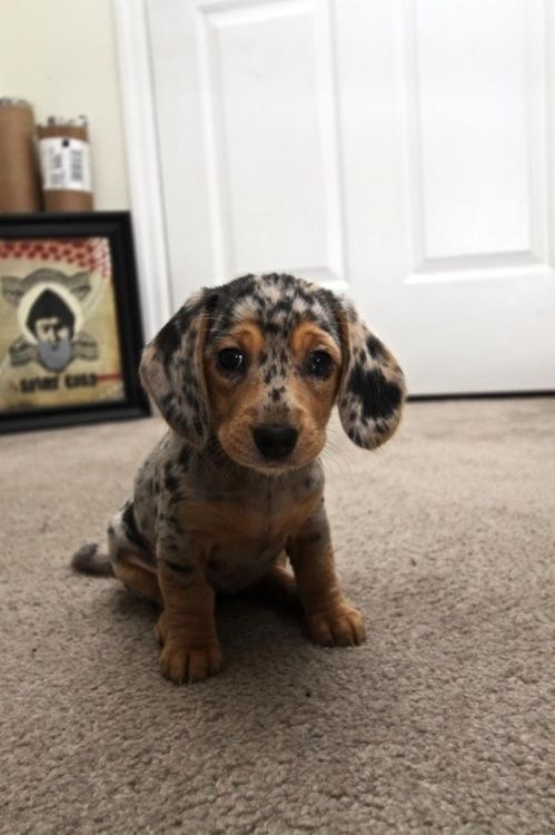 Spotted Doxie: Weenie Dogs, Cutest Dogs, Dachshund Puppies, So Cute, Pet, Dapple Dachshund, Cutest Puppies, Wiener Dogs, Animal