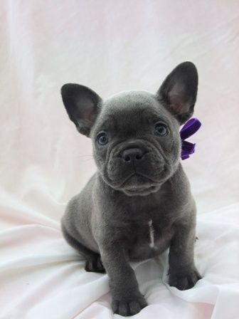 Blue | Mandanna Dogs blue French bulldog puppy cute for sale