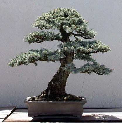 blue-atlas-cedar-bonsai