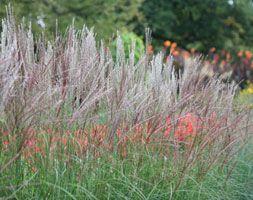 Miscanthus sinensis 'Yakushima Dwarf' - Plants - gardenersworld.com