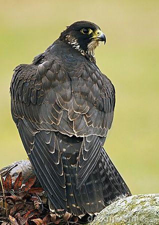 Peregrine falcon. So majestic.