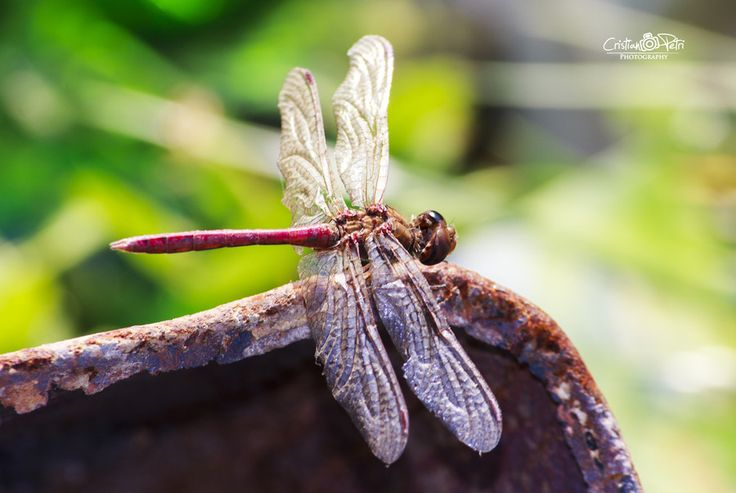 Dragonfly likes rust by Cristian Petri on 500px