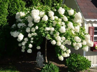'Peegee' Hydrangea has extremely large pyramidal white blooms in July throughout fall and abundant fragrance in the garden. 'Peegee' can be grown as a shrub or tree form and can serve as either a group planting or as a single specimen in a landscape design. It grows 3-5 feet or higher in its tree form. This particular hydrangea can grow well in full to partial sun and blooms on new wood. It is hardy in Zones 4-8.