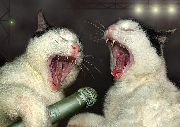 Karaoke Night: Funny Cat Photo, Stuff Animal, Singing, Songs Lyrics, Funny Cat Pics, Funny Animal, Small Town Girls, Funny Music, Cat Parties