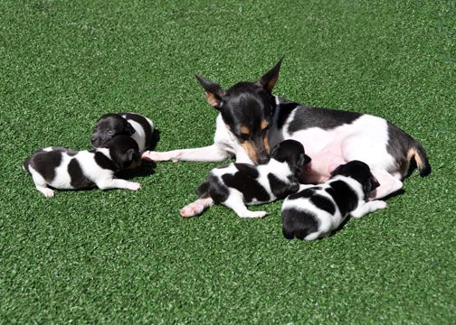 Envoy...dogs and puppies | Miniature Schnauzers and Toy Fox Terriers