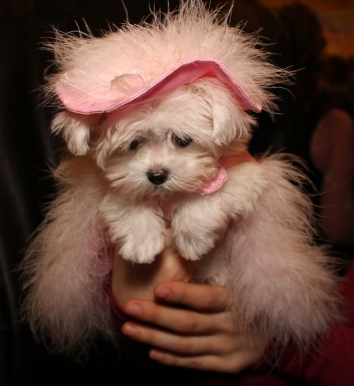 Tea Cup Toy And Small Dog Breeds With Long White Hair
