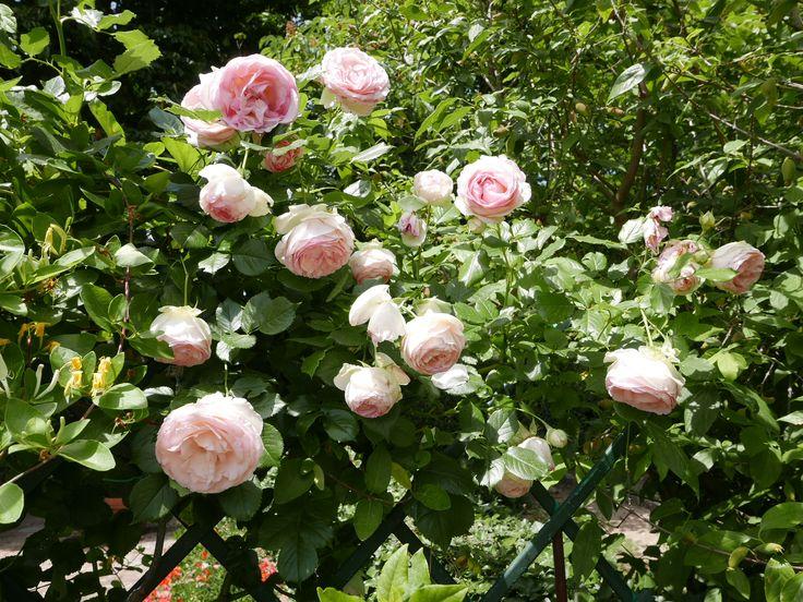 Pierre de Ronsard Roses in Villa le Barone's garden