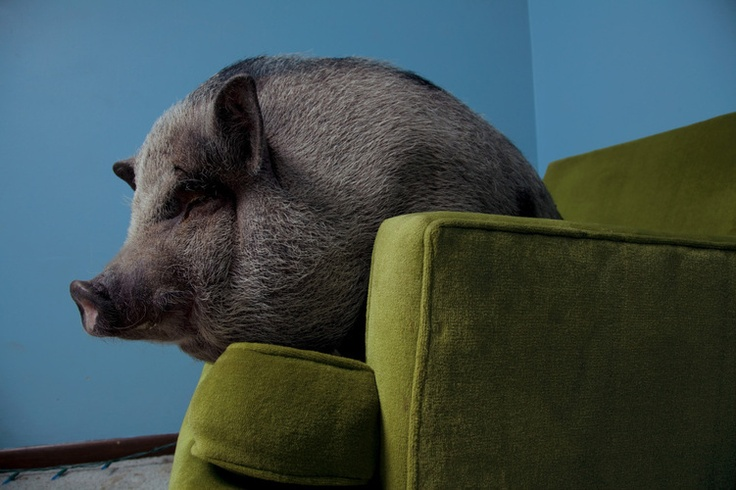 Pot Bellied Pig for a Pet