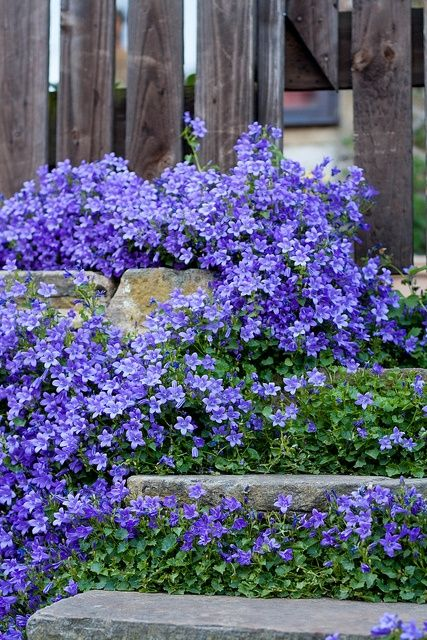 Campanula, perennial, different varieties and colors. This variety makes an excellent ground cover, long bloom season and returns every year!