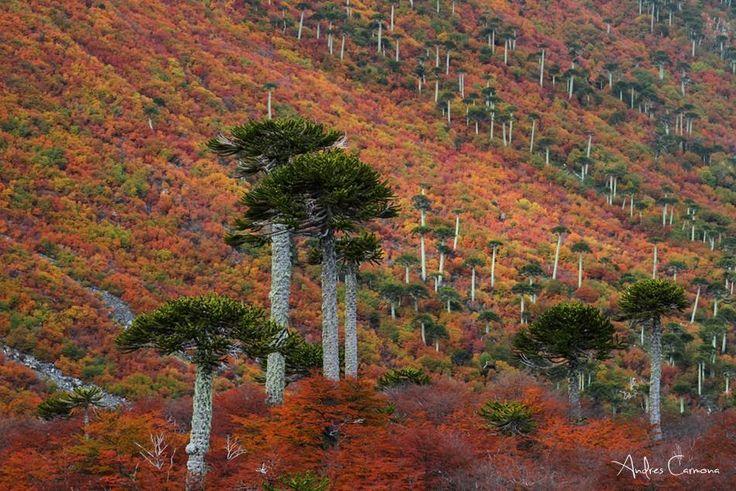 Otoño entre Araucarias araucanas. Parque Nacional Conguillio Chile