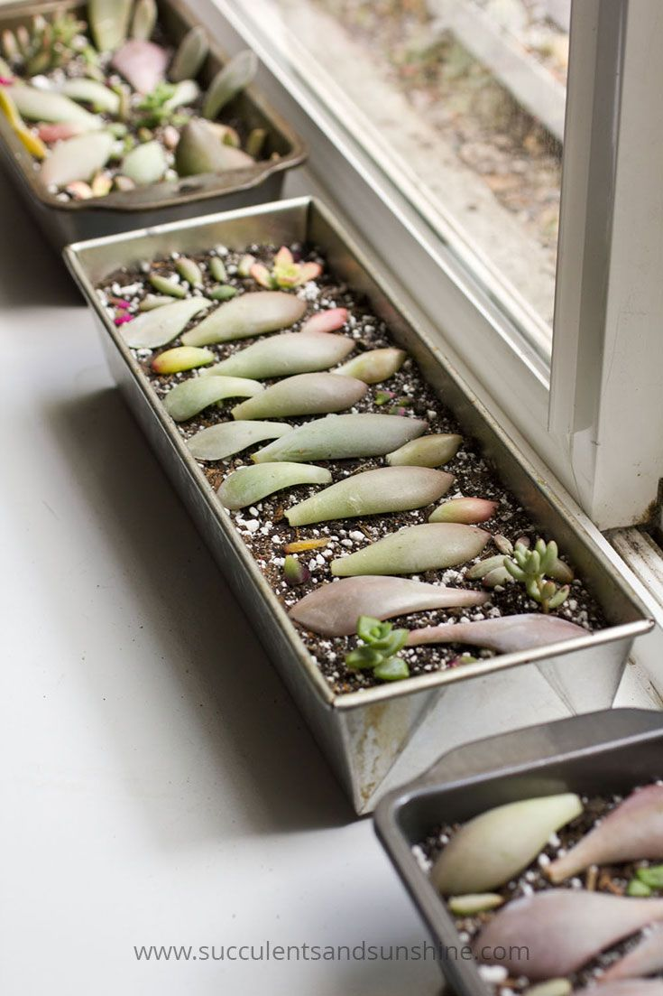 Find out how to water succulent leaves for propagation!                                                                                                                                                                                 More