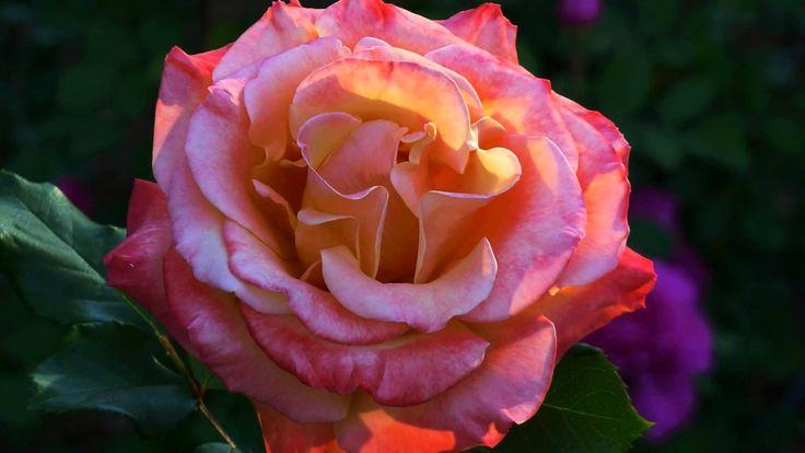 ERNESTO CORTAZAR - Adoro-Non Se Tu-Contigo Aprendi - BEAUTIFUL ROSES