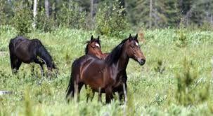 wild horses of alberta - Google Search