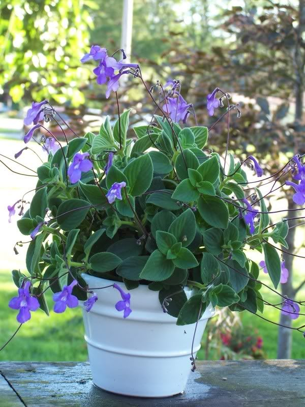 streptocarpella annual or you could use it as a house plant loves the shade - Flowering House Plants Purple