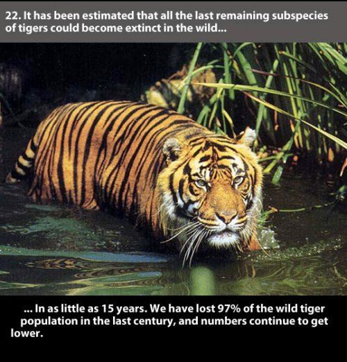 Amazing Photo Gallery Some Information: 22 Amazing Facts About Tigers (23 Photos) : TheCHIVE Save