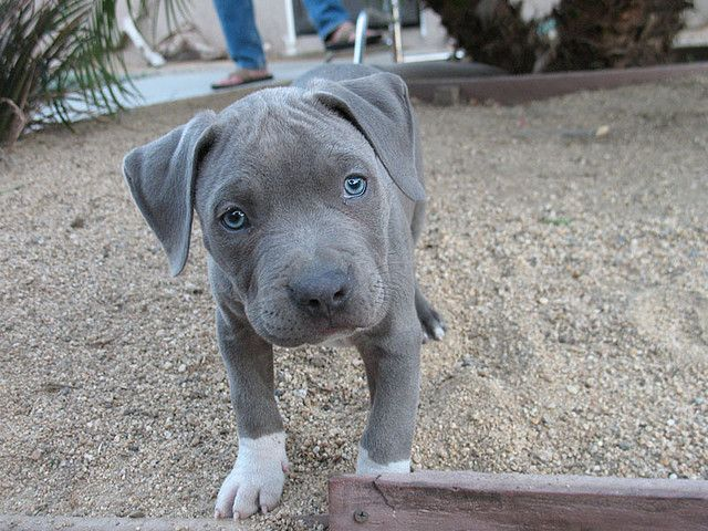 Blue pit bull puppy ...it's not the breed that makes them bad, it's the idiot people that turn them that way!  I love my pit