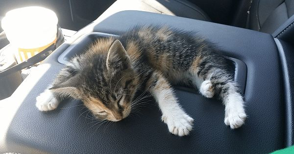 After Truck Driver Finds Stray Kitten On Road She Falls Asleep, And He Doesn't Have The Heart To Wake Her!
