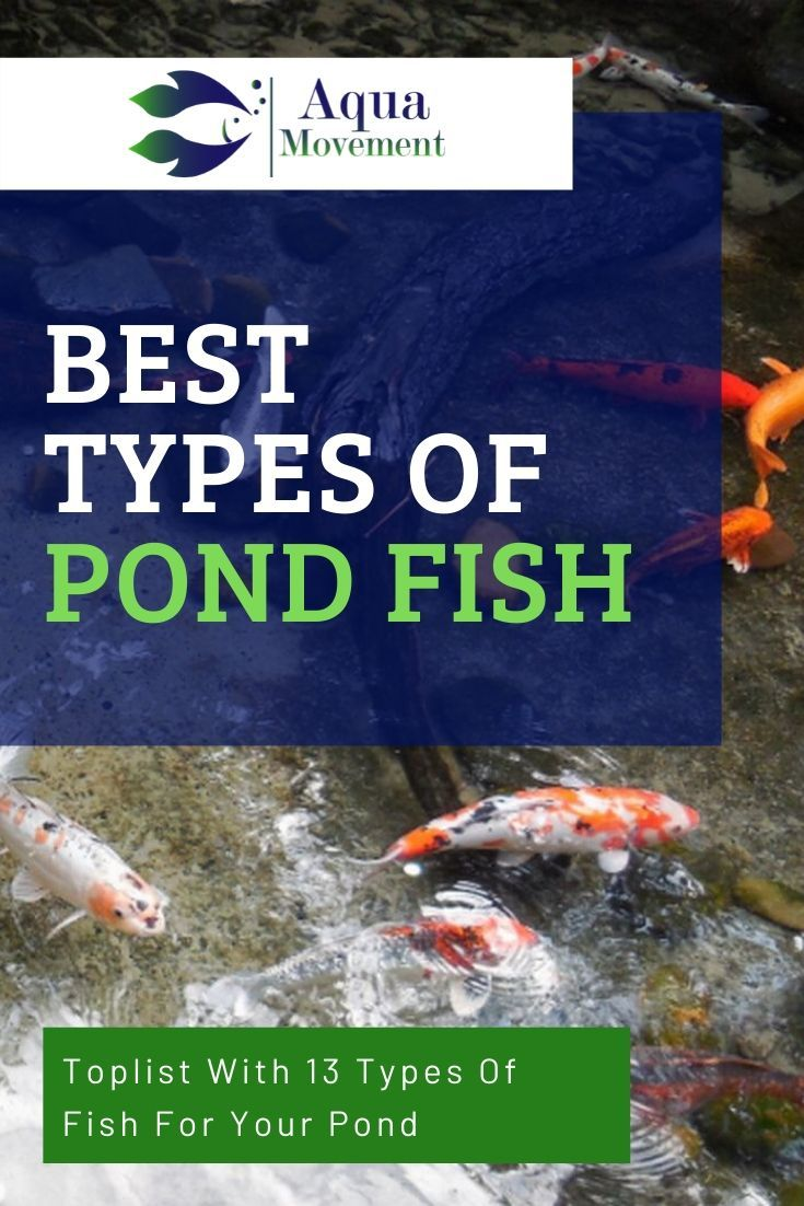13 Best Types Of Pond Fish With Pictures Aqua Movement In 2020 Fish Pond Gardens Fish Ponds Backyard Pond